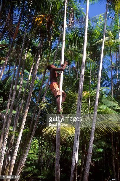 Acai berry picker sustainable work Amapa State Amazon rainforest Brazil
