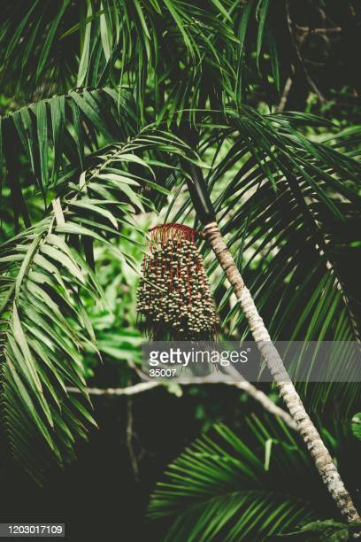 acai palm euterpe oleracea berries in the rainforest - acai stock pictures, royalty-free photos & images