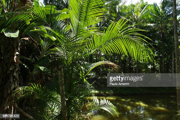 Acai Palms Trees at Amazon Rainforest in Brazil