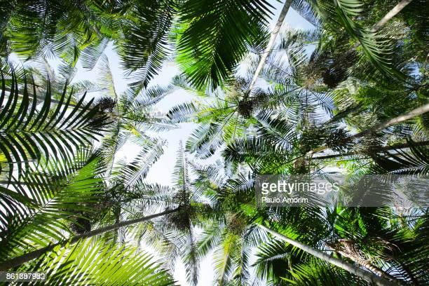 Acai Palms Trees at Amazon Rainforest,Brazil