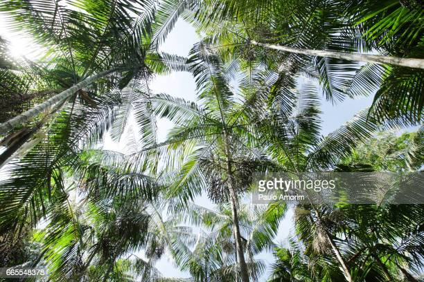 Acai Palms Trees in Amazon,Brazil