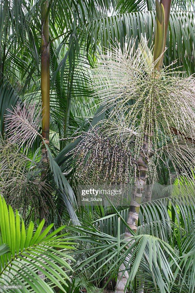 Acai Plantation : Bildbanksbilder