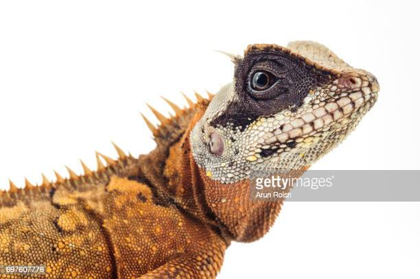 Acanthosaura is a genus of lizards commonly known as mountain horned dragons, or pricklenape agamas. They are arboreal lizards found in Southeast Asia. They are m
