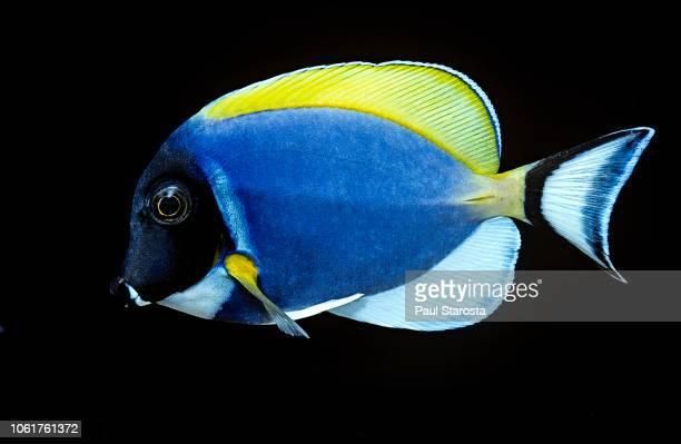 acanthurus leucosternon (powder blue tang, powder-blue surgeonfish) - pez tropical fotografías e imágenes de stock