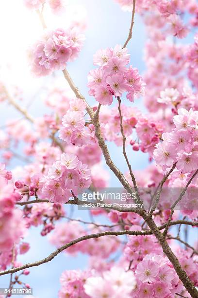 accolade cherry blossom - fruit tree stock pictures, royalty-free photos & images