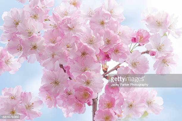 accolade pink cherry blossom - fruit tree stock pictures, royalty-free photos & images