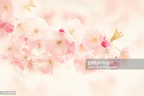 Accolade Pink Cherry Blossom