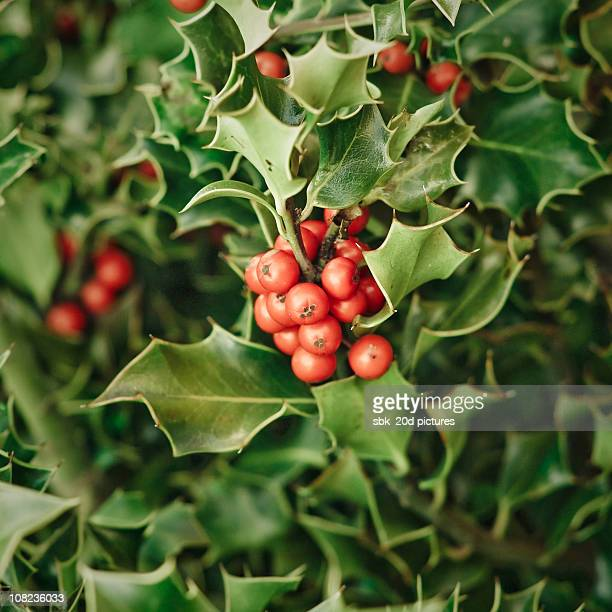 acebo - holly stock pictures, royalty-free photos & images