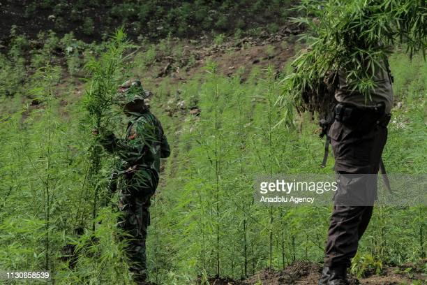 Acehnese authority officials destroy nine hectares of cannabis land belonging to residents in Montasik mountains Aceh Besar district Aceh province...