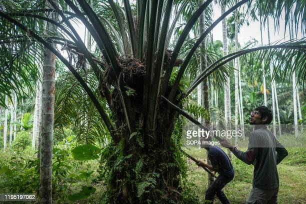 Acehnese workers harvest palm oil fruits at a palm oil plantation area in Kuta Makmur, North Aceh Regency. After two consecutive years of distress,...
