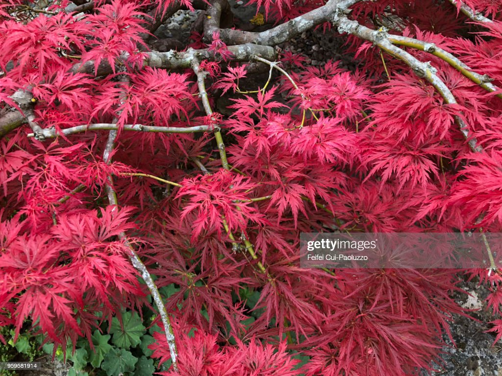 Acer japonicum tree : Stock-Foto