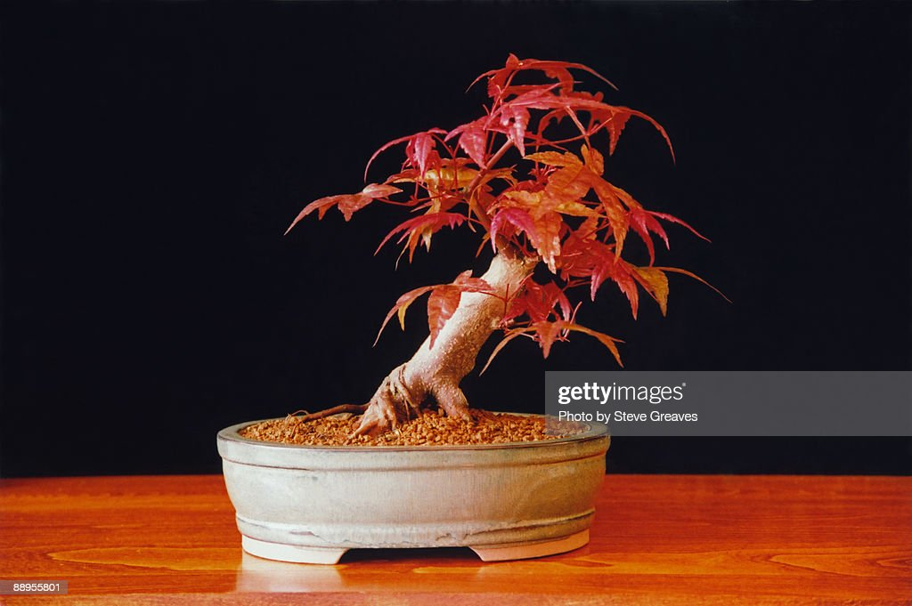 Acer Palmatum Deshojo Japanese Maple Bonsai Tree Stock Photo Getty