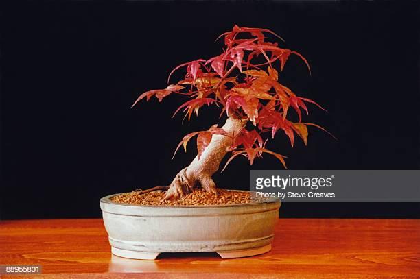 "acer palmatum ""deshojo"" japanese maple bonsai tree - 盆栽 ストックフォトと画像"