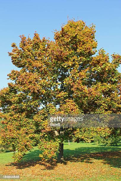 acer platanoides tree - maple tree stock pictures, royalty-free photos & images