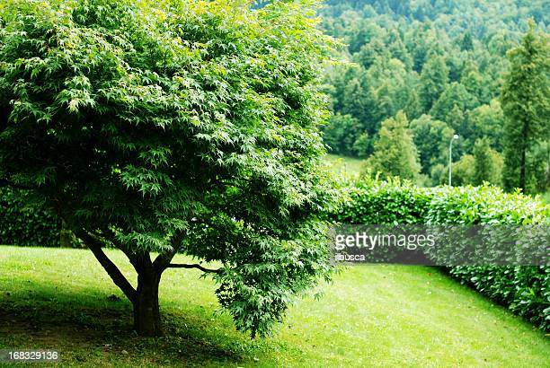 Acer tree in mountain yard