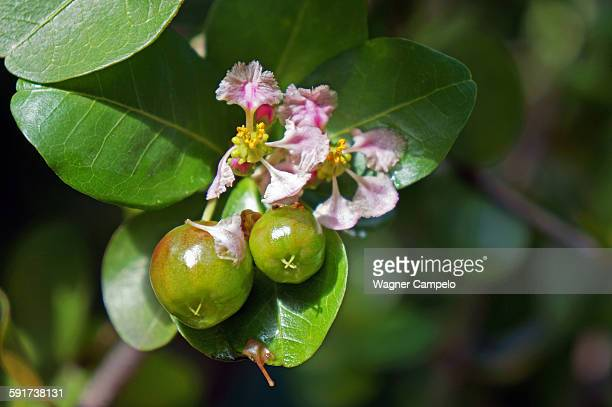 Acerola flowers and fruits