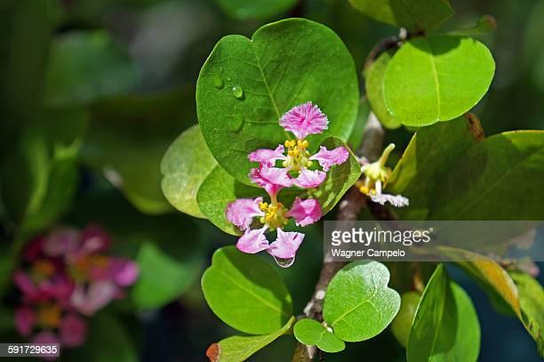 Acerola flowers