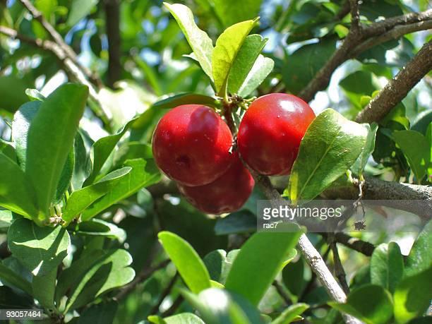 Acerola-Baum
