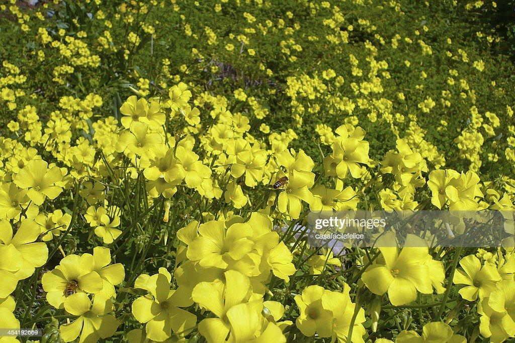 Acetosella gialla, Oxalis pes-caprae : Stock-Foto