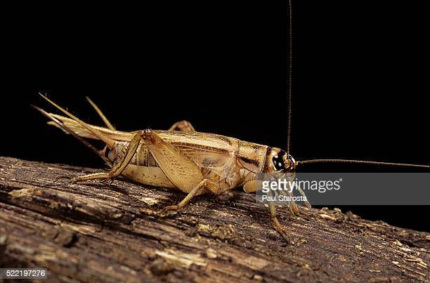 acheta domesticus (house cricket) - cricket insect stock pictures, royalty-free photos & images
