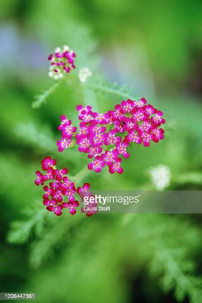 achillea cerise queen flowering plant - yarrow stock pictures, royalty-free photos & images