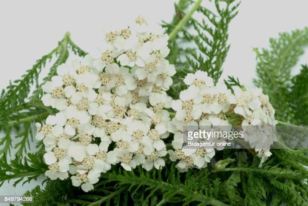 Achillea Millefolium Commonly Known As Yarrow Medicinal Plant