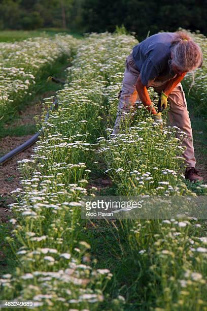 achillea millefolium, harvesting - yarrow stock pictures, royalty-free photos & images