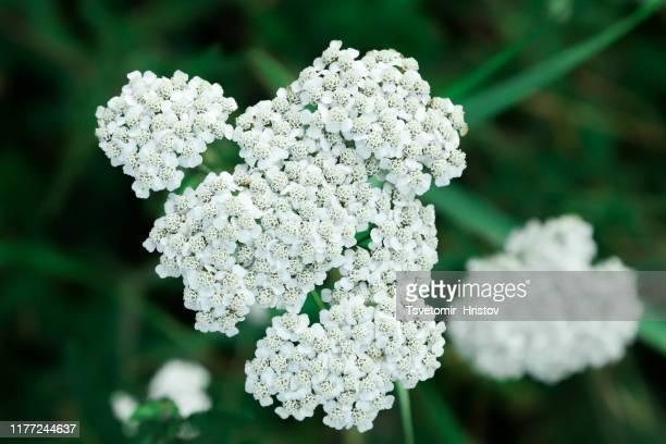 achillea millefolium - yarrow stock pictures, royalty-free photos & images