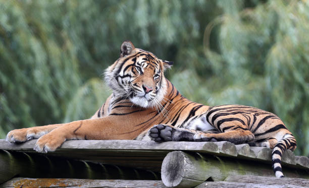 sumatran tiger at howletts wild animal park pictures getty images