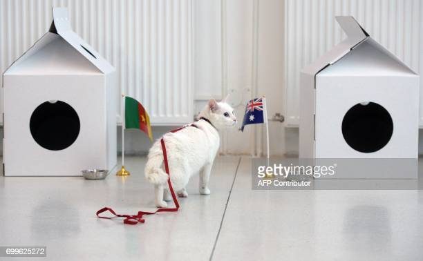Achilles the cat one of the State Hermitage Museum mice hunters approaches an Australian national flag during a prediction event of the results of...