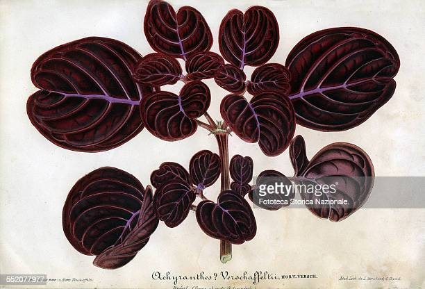 Achyranthes Vershaffeltii medicinal and ornamental plants in the Amaranthaceae family Brazil Illustration by P Stroobant and lithograph by L...