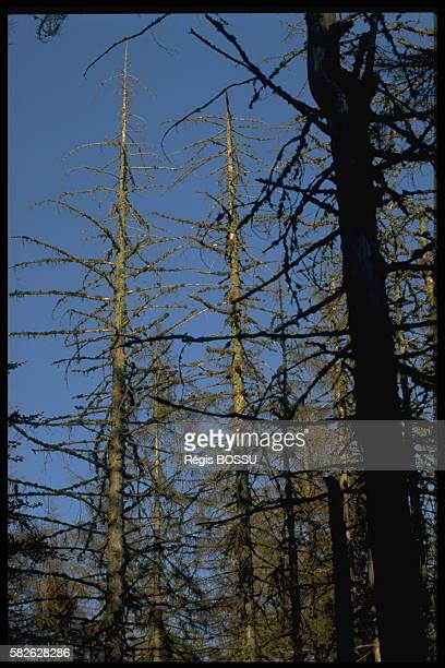 Acid rain damage in forests in Germany