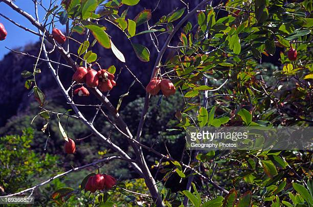 Ackee fruit Cayman Brac Cayman Islands British West Indies