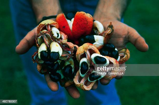 Ackee fruit Jamaica