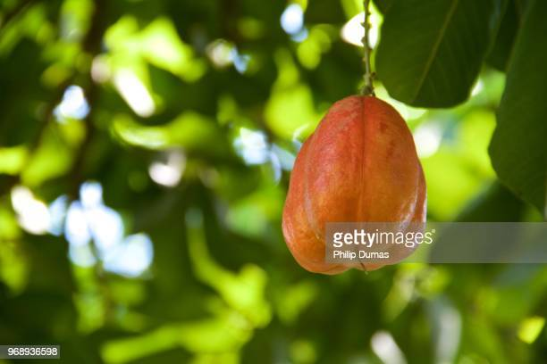 ackee fruit (blighia sapida) - tropical fruit stock pictures, royalty-free photos & images