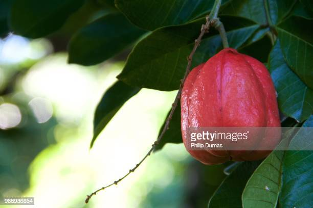 Ackee on tree (Blighi sapida)
