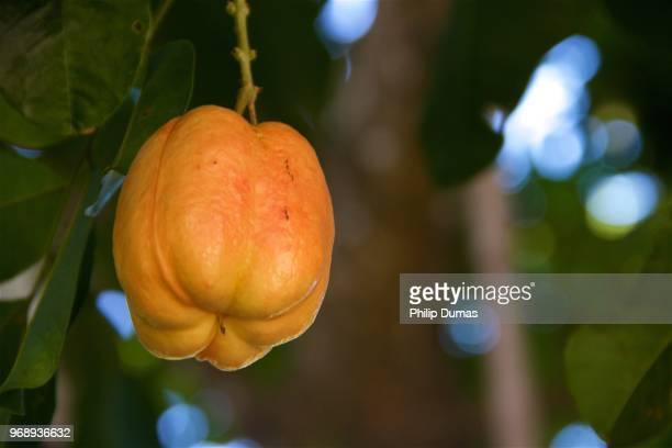 Ackee ripening (Blighia Sapida)