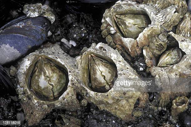 acorn barnacles & a california mussel. sessile arthropod. oregon coast. - barnacle stock pictures, royalty-free photos & images