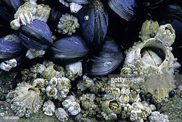 acorn barnacles, balanus glandula, and california mussels, mytilus californianus. pacific intertidal zone. - barnacle stock pictures, royalty-free photos & images