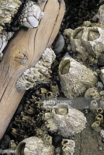 acorn barnacles, balanus glandula, and gooseneck barnacles, pollicipes polymerus, oregon coast, usa - barnacle stock pictures, royalty-free photos & images