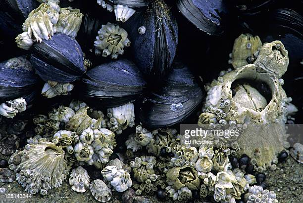 acorn barnacles, california mussels in intertidal zone - barnacle stock pictures, royalty-free photos & images