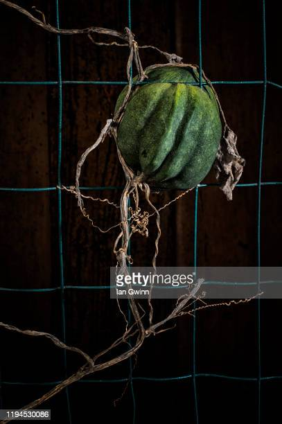acorn squash and vine on fence - ian gwinn stock pictures, royalty-free photos & images