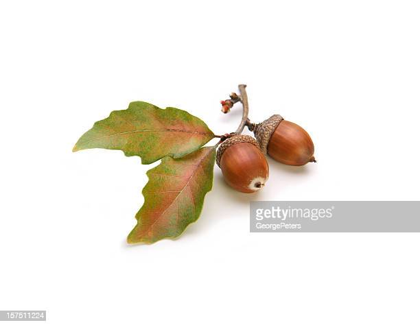 Acorns and Oak Leaves Isolated on White