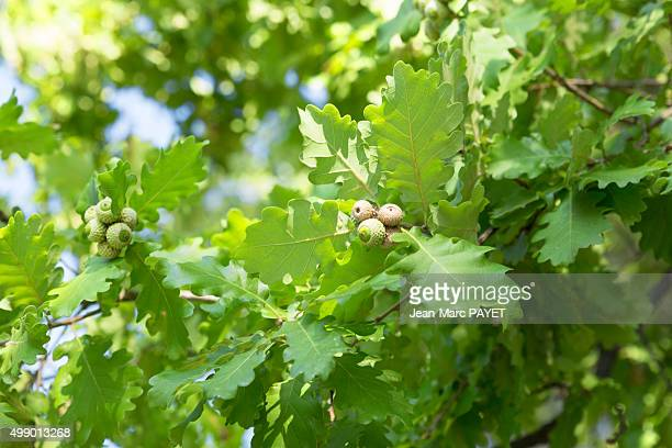 acorns in an oak - jean marc payet stockfoto's en -beelden