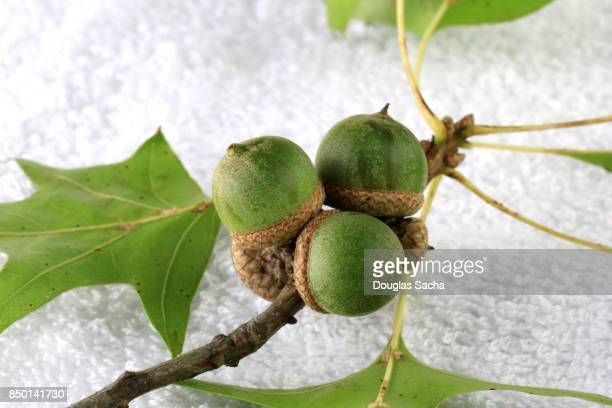 Acorns on a Red Oak Tree branch (quercus rubra)