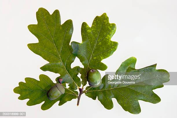 Acorns on English oak leaves (Quercus robus), close-up