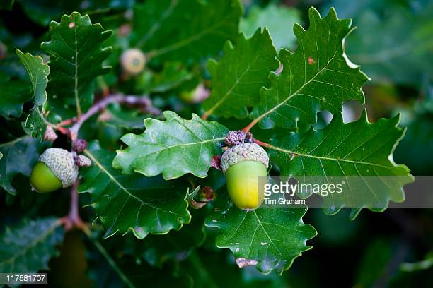 Acorns on oak tree Bordeaux region France