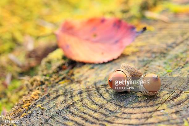 Acorns on tree stump