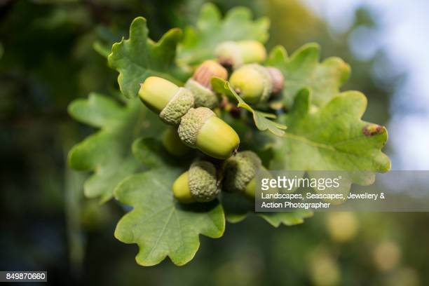 Acorns ripening on an oak tree