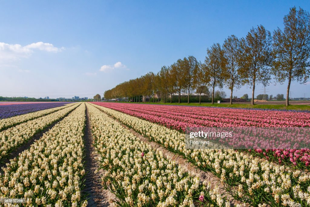 Acres of blooming flowers during spring in the Netherlands : Stock Photo